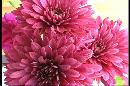 Picture-of-red-chrysanthimums-close-up